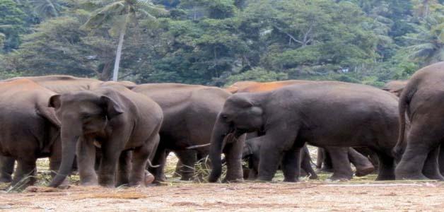 3 हाथियों के मौत का मामला, हैवी मेटल होने के कारण हाथियों की हुई मौत