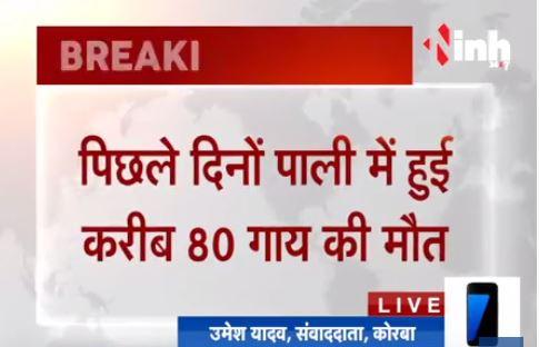 Korba में 80 गाय की मौत मामले में खुलासा, दिया गया था जहर